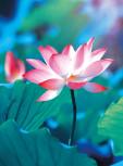 Blankbook Lotus